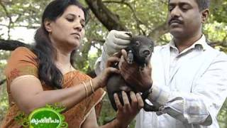 Scientific ways of pig rearing and various breeds of pigs
