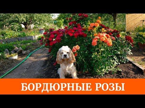 Бордюрные розы. Как вырастить? Очень красивые и неприхотливые