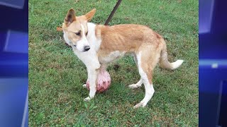 New Home for Abandoned Dog with 6-Pound Tumor