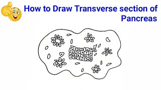 how to draw transverse section of pancreas | how to draw transverse section of pancreas diagram