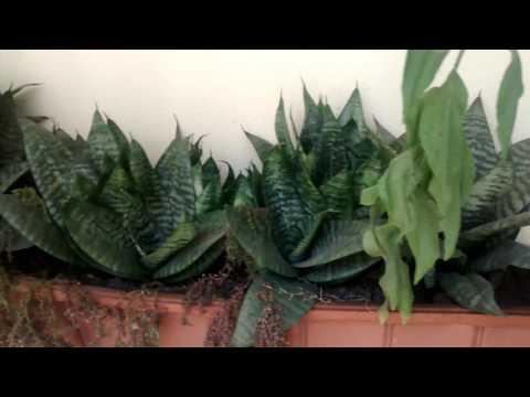 Plantas de ornato y citronela