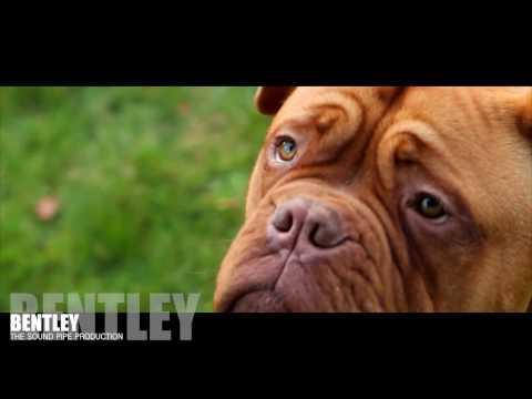 Bentley  6 Month Dogue de Bordeaux (French Mastiff)