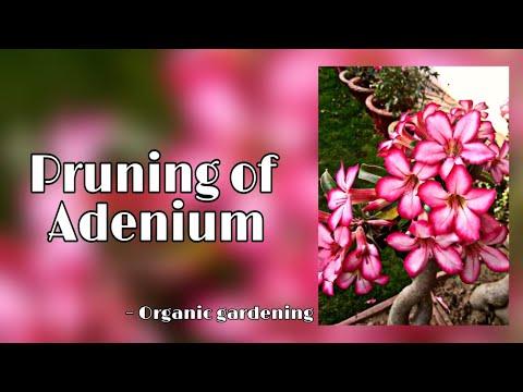Pruning of Adenium