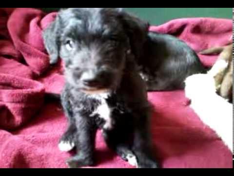 Bedlington Terrier Cross Jack Russell Pups Youtube