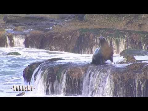 Sea Lions/Seals - La Jolla Cove in 1080p