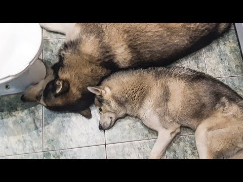 Измученные собаки хаски и маламут