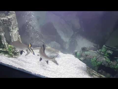 Silver Sharks And Pangasius Catfish Tank