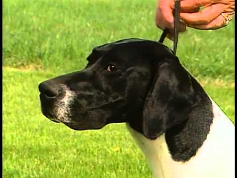 Pointer - AKC Dog Breed Series
