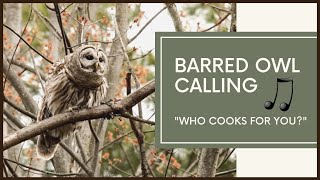 Barred Owl Calls To Mate - Amazing Vocals thumbnail