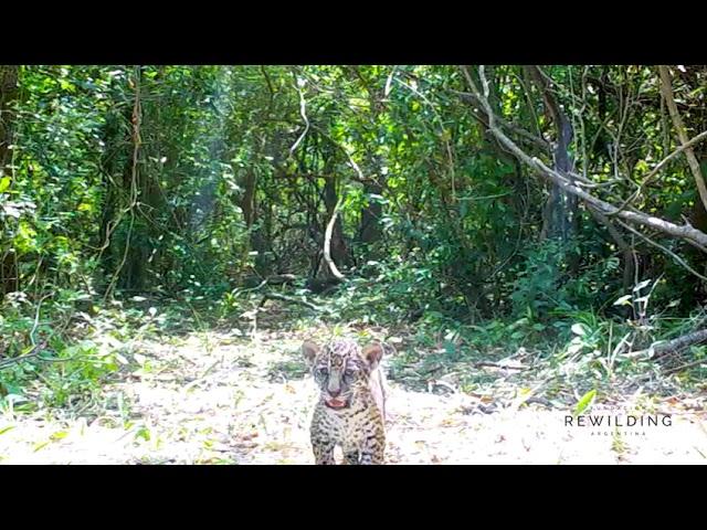 Nacen dos cachorros de yaguarete 20 11 22 01