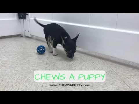 chihuahua-puppy-for-sale-|-chews-a-puppy-|-orlando,fl