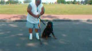 Dog Training Obedience Training  And Bite Work
