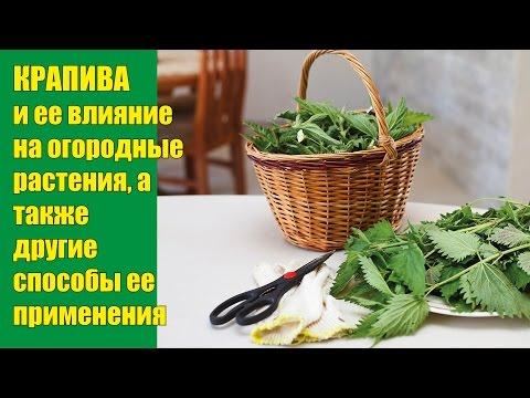 Крапива, лечение крапивой. Свойства целебных трав