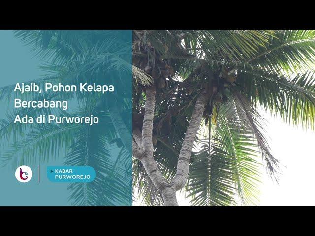 Ajaib, Pohon Kelapa Bercabang Ada di Purworejo