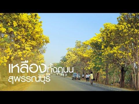 ท่องเที่ยวสะดุดตา : เหลืองทั้งถนน ปรีดียาธรกำลังบานสวยทั้งถนนสุพรรณบุรี