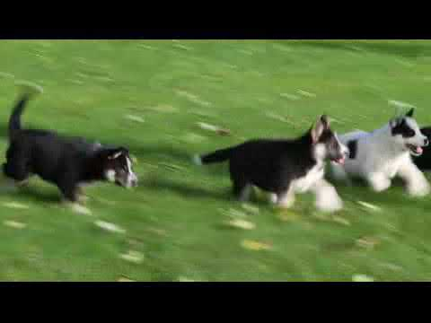 Siberian Husky Mix Puppies For Sale Youtube