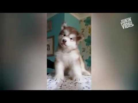 husky puppy barking making funny noise, Pets Playhouse Kennel, Mumbai