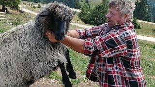 Bricine najbolje ovce i ovnovi