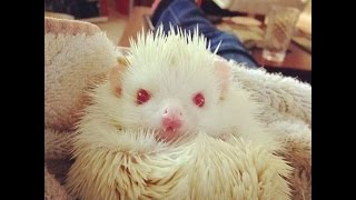 African pygmy hedgehog-happily hanging out with you.