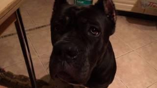 Cane Corso . Собака породы Кане Корсо по кличке Бэйлис учится говорить МАМА