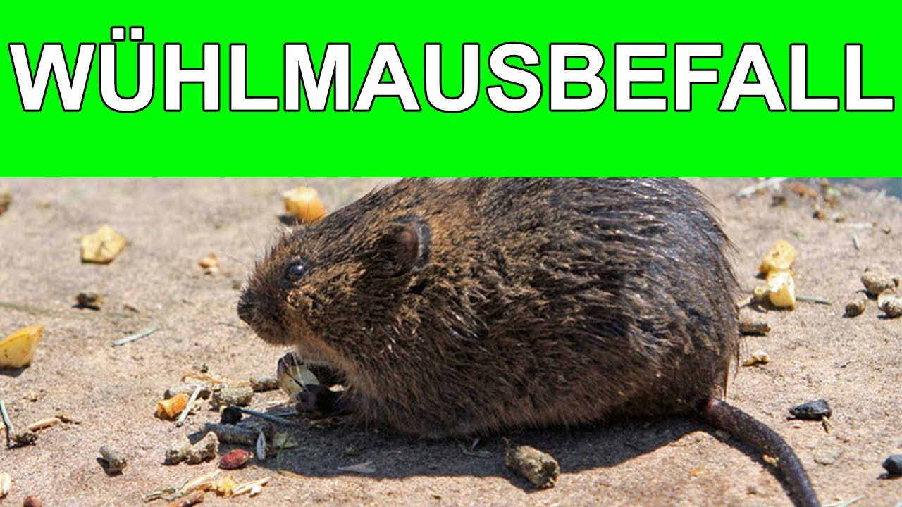 Anzeichen Fur Einen Wuhlmausbefall 2017 Youtube