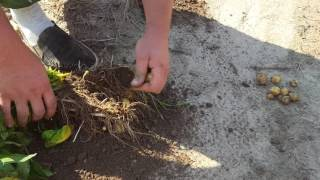 Картофель Гала 44 клубня на кусту. Славянский картофель