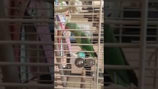 Фома александрийский попугай разговаривает