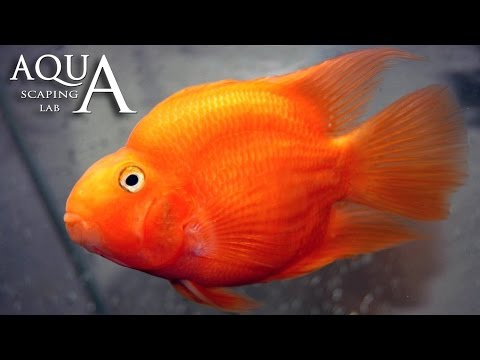 Aquascaping Lab – Red Blood Parrot Fish Cichlid description / Ciclide Pappagallo descrizione
