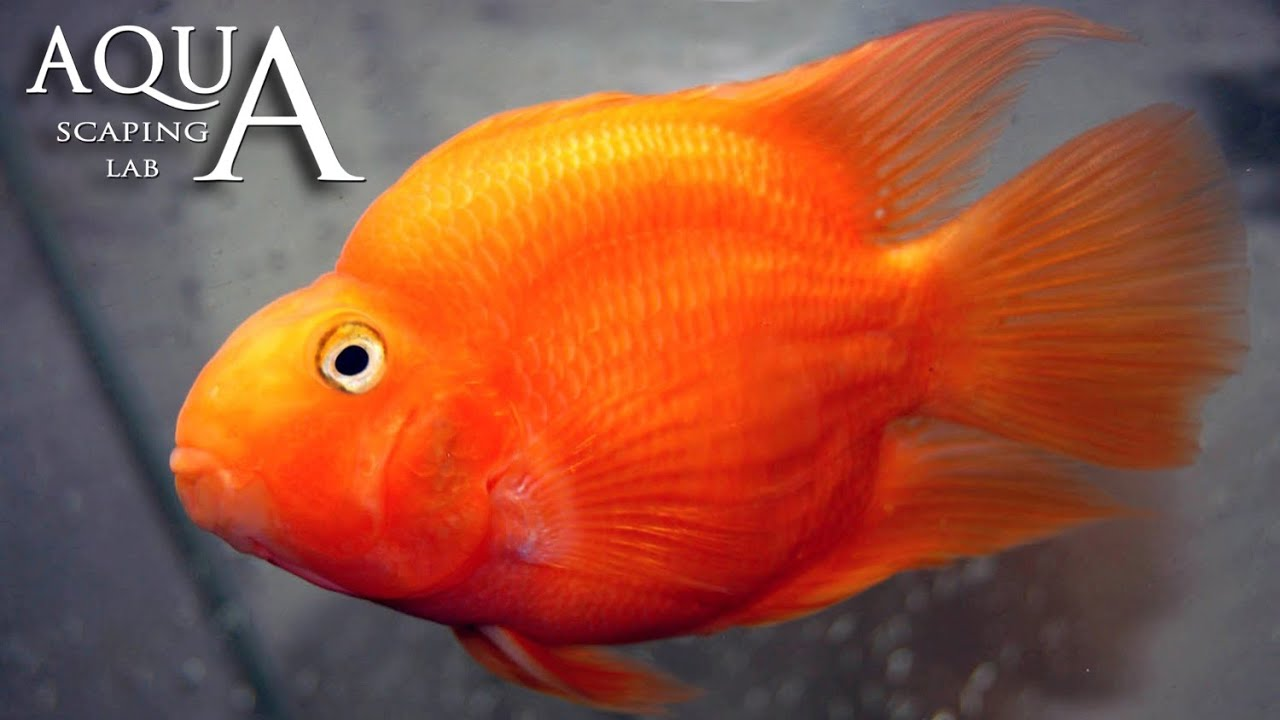 Aquascaping Lab - Red Blood Parrot Fish Cichlid description ...