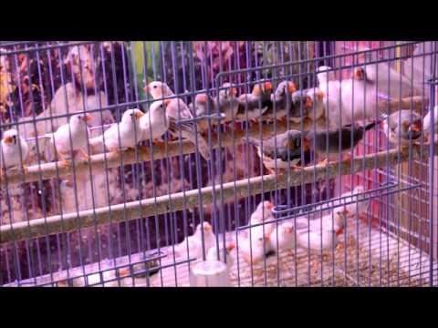 Амадины   домашние птички