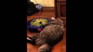 Сибирская кошка Буся 6 месяцев.