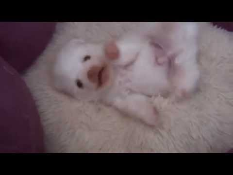 Tickling a Cute Pomeranian Puppy's belly - Watching a puppy grow