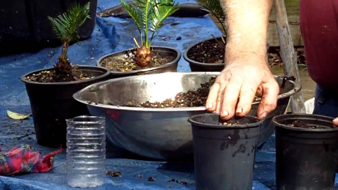 King Sago Seed Planting Youtube