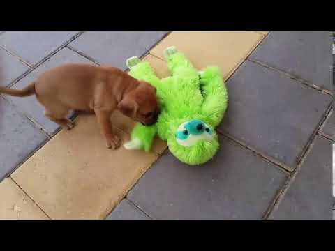 "6 week Pugalier ""Cali"" playing with a plush toy Sloth"