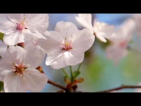 ANÚNA : Sakura (arr. Michael McGlynn)