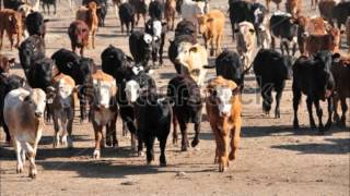100 AUSTRALIAN COWS FAISALABAD CALL FROM USA DR.ASHRAF SAHIBZADA .wmv