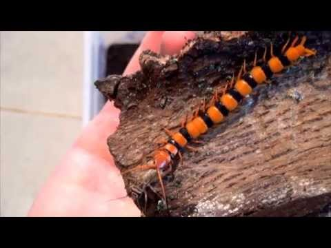 Indian Tiger Centipedes Hunt and Feed
