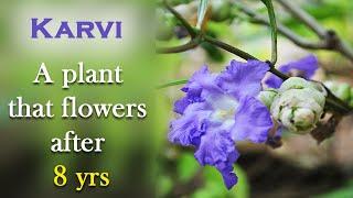 Karvi that flowers after 8 yrs | Karvi identification | Strobilanthes callosus identification
