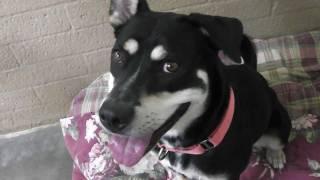 Adopted!  Lulu, Sweet And Sunny, Tricolor Labrador Retriever Mix