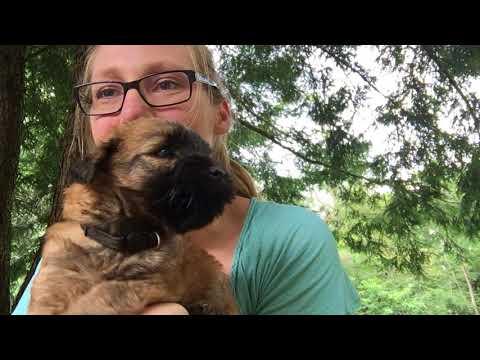 Wheaten Hills Wheaten Terriers  - Molly 8-2018 - Boy Black