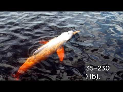 Baiji Dolphin 2 Video