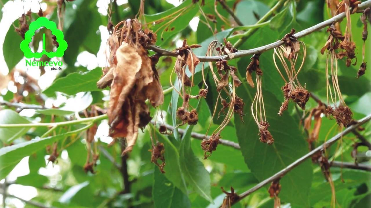 Питомник Немцево. Защита фруктовых деревьев от вредителей, сроки и действие