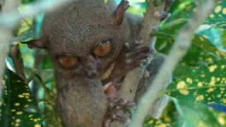 TARSIER WORLD