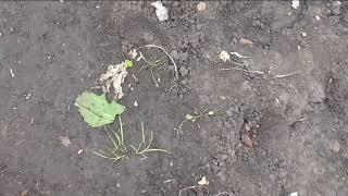 видео Как удалить сорняки на своём дачном участке? Никак!