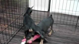 Miniature Pinscher Puppies For Sale (empirepuppies)