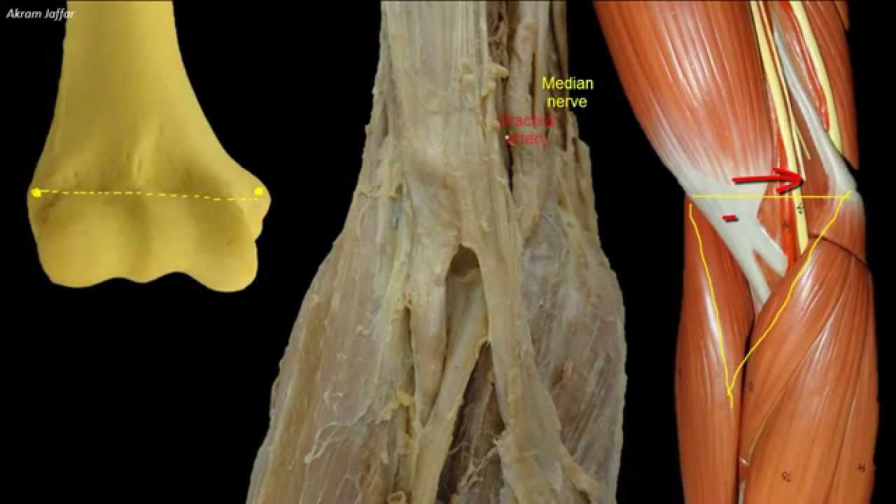 Superficial veins of the upper limb at the cubital fossa - YouTube