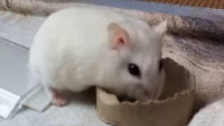 Hamster tricks - Beauty