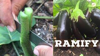 Grafting Vegetable Video ( Eggplants and Pea Eggplant)