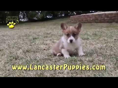 Welsh Corgi Pembroke Puppies