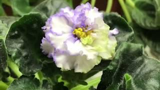 нОВЫЙ СОРТ ФИАЛКИ . Выращивание фиалок из семян